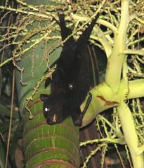 FlyingFox3 (heyluke) Tags: bat flyingfox fruitbat