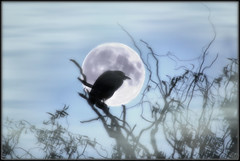 Silver Moon [Explore] (BluAlien) Tags: sky bird art heron nature silhouette photoshop nikon surrealism surreal blackcrownednightheron nightheron d40 monn