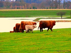 Camera Shy Herd (B4bees) Tags: scotland cattle bull perth calves riverearn beautifulphoto hieffers