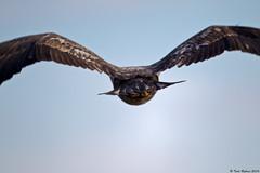Bald Eagle Series  17 of 17 (Todd Ryburn) Tags: raptor rearview bif birdinflight baldeaglenature