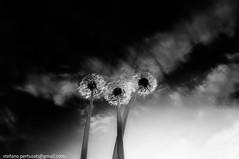 Soffioni (Stefano Pertusati) Tags: flowers sky bw italy white black grass clouds photoshop three nikon nuvole 10 sigma bn dandelion e 20mm mm 20 fiori 35 fiore tre bianco piedmont nero 56 dandelions 10mm d90