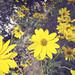 daisies in paestum