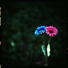 (19/77) Tags: flower film flickr f malaysia 28 1977 negativescan 80mm myasin 88arsat mediumformatslrkiev