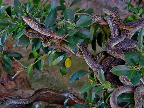 Habu Snakes, Hime Habu, Okinawa Habu, Sakishima Habu and Tokara Habu.
