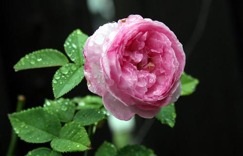 Prince Napoleon Rose