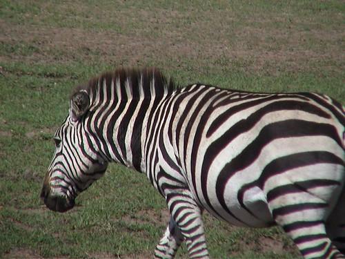 Mara Beautiful Zebra