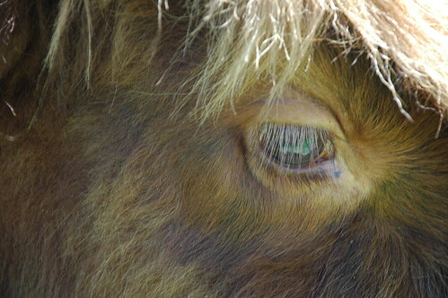Detail, Scottish Highland cattle