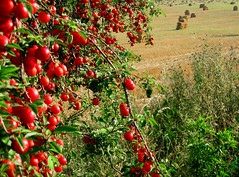 Uros Petrovic - Rich Summer (Uros Petrovic) Tags: red summer uros fruits field fruit serbia petrovic srbija sumadija shumadia