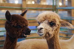 i get the feeling they're making fun of me. (solecism) Tags: baby cute alpaca animal farm statefair fluffy fair 2007 cria babyalpaca cuteoverload theoneontherightistotallysmirking plow:emote=laugh