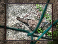 The Zebra Dove (Geopelia striata) (jayjayc) Tags: blue brown bird collage photoshop mosaic dove montage malaysia kualalumpur cocoa zebradove geopeliastriata merbok geopelia jjsgarden theperfectphotographer jayjayc