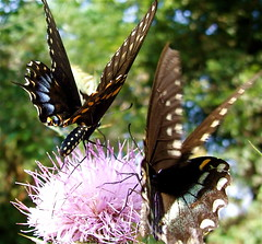 (mightyquinninwky) Tags: flower butterfly insect geotagged weed dof bokeh 10 kentucky thistle butterflies award insects explore wildflower invite westernkentucky flyinginsect flyinginsects ohiorivervalley top20black superbmasterpiece flickrelite smithmillskentucky hendersoncountykentucky buzznbugz wonderfulworldmix macromix theperfectphotographer geo:lat=37801002 geo:lon=87747352 exploreformyspacestation bestofformyspacestation