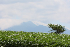 Mt. Tokachidake and flowers of potatoes (double-h) Tags: mountain flower hokkaido cloudy potato    biei  tokachidake  potatopatch  kamifurano  mttokachi mttokachidake