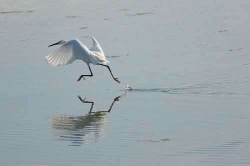 Little Egret - Langstone