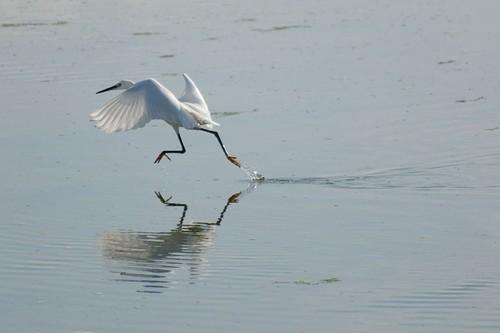 Little Egret - Langstone