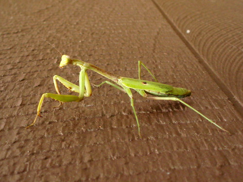 another mantid