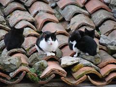 Gatos en el Tejado (c0ntraband) Tags: espaa naturaleza verde spain asturias gato picosdeeuropa amieva