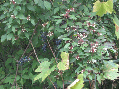 Marsh Trail Berries and Grapes