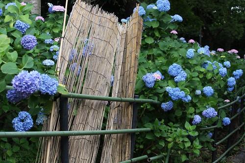 Hydrangeas 紫陽花