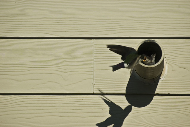 Tree Swallow (Tachycineta bicolor) Feeding its Fledglings