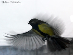 Fly Away From Here (grce) Tags: bird canon fly wings movement coat flight feather greattit parusmajor inmotion plumage naturesfinest simplysuperb 100commentgroup slbflying canoneos550d