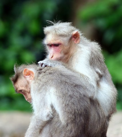 Macaque grooming