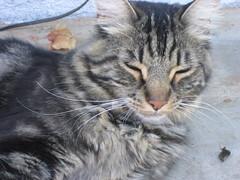 percy_2094 (yoji_00) Tags: cat bored tired percy