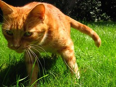 Action Cat (Nala Rewop) Tags: grass cat garden ginger interestingness bravo feline action tail pussy whiskers explore bungee moggy catstail 070707 aplusphoto superhearts platinumheartaward