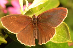 """Ringlet Butterfly (aphantopus hypera(11) • <a style=""""font-size:0.8em;"""" href=""""http://www.flickr.com/photos/57024565@N00/747770458/"""" target=""""_blank"""">View on Flickr</a>"""