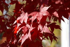 Red Maple Tree (isiguru) Tags: vegas pet flower hurricane westvirginia
