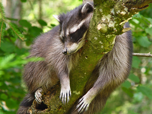 Raccoon sleeping in a tree by Tambako the Jaguar.