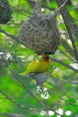 Weaver displaying (jeremyhughes) Tags: bird birds southafrica wings nikon nest display d200 weaver nikkor knysna tc14eii nikond200 capeweaver ploceuscapensis featheryfriday 300mmf4d birdsofeden