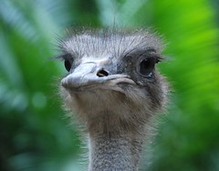 ostrich (rizalgeo) Tags: nikon ostrich d80 18135mm bukitmerahlaketown