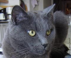 Nestor Burma, a grey cat. Over 3000 views (Anna Amnell) Tags: cat greycat nestor kissat