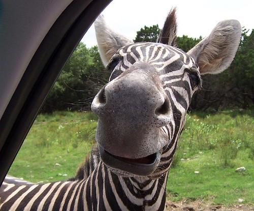 funny face. Funny Face Zebra | Flickr
