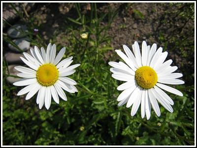 Ox Eye Daisies copy
