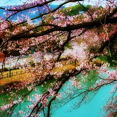 Colourful spring in Himeji castle, Japan (Hopeisland) Tags: pink flowers trees plant flower tree nature japan spring blossoms april sakura cherryblossoms colourful 2010 himejicastle       4        mygearandmepremium mygearandmebronze mygearandmesilver