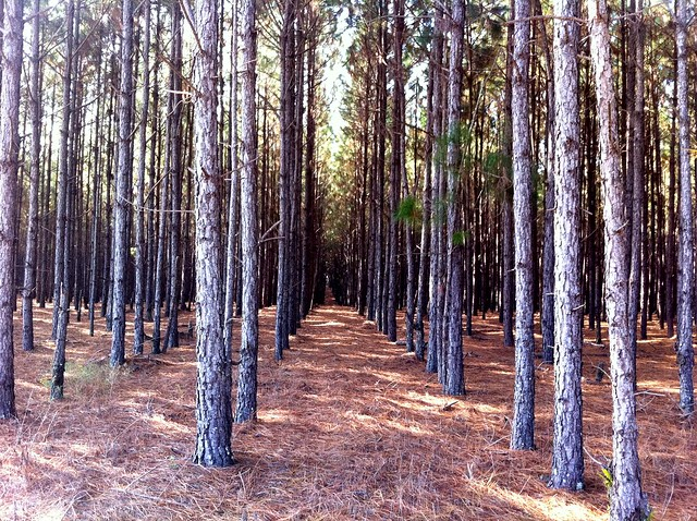 Rows of pines