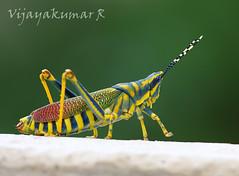IMG_7377 (Vijayakumar R (www.vijayphotoworks.com)) Tags: ak grasshopper poekiloceruspictusfabricius