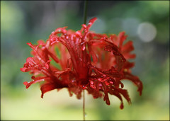 India. Hibiscus schizopetalus (lalie sorbet) Tags: india flower macro nature canon hibiscus laliesorbet