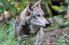 The Great Gray Wolf (Deby Dixon) Tags: nature photography nikon wildlife explore frontpage graywolf deby allrightsreserved 2010 debydixon debydixonphotography