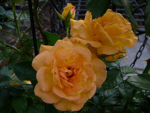 Rosengarten 2007 (18)