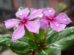 flowers with dew (jk10976) Tags: show pink flowers nepal flores flower beautiful asia flickr searchthebest excellent periwinkle kathmandu blooms apocynaceae waterdrops soe breathtaking raj medicin
