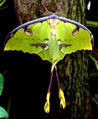 Luna Moth (khasan) Tags: butterfly tucson magic moth exhibit luna naturesfinest