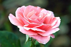pink pose (Lyubov) Tags: pink flowers roses summer flower macro nature rose garden ilovenature thebiggestgroup aplusphoto agradephoto diamondclassphotographer flickrdiamond excellentphotographerawards