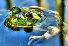 Laying Low (~Dezz~) Tags: reflection green nature water animal pond eyes backyard wildlife fingers amphibian frog soe backyardwildlife canons3is canonpowershots3is