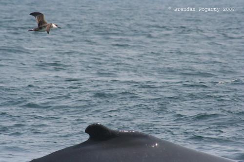 humpback shearwater humpbackwhale puffinus greatershearwater puffinusgravis brierisland