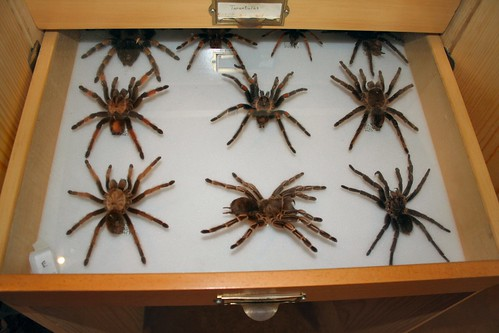 drawer full of tarantulas