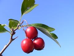 Frutti del Biancospino (Crataegus monogyna fruits) (Luigi Strano) Tags: autumn berries wildflowers autunno bacche crataegusmonogyna biancospino schedebotaniche botanicalnotes