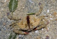 crab swimmer
