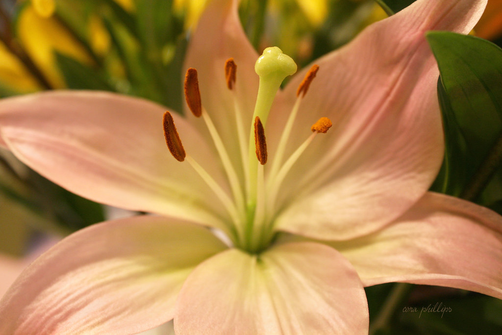 Lily Pink